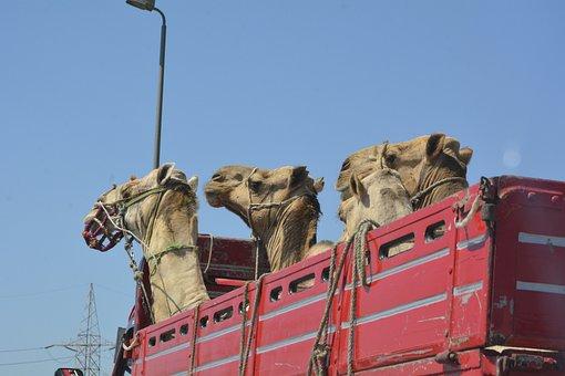 Camels, Egypt, Cairo, Old Man, Arabic Man, Travel