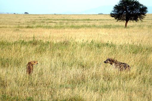 Cheetah, Hyena, Tooth, Fangs, Aggressive, Defend