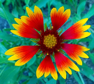 Blanket Flower, Flower, Plant, Colorful, Cheerful
