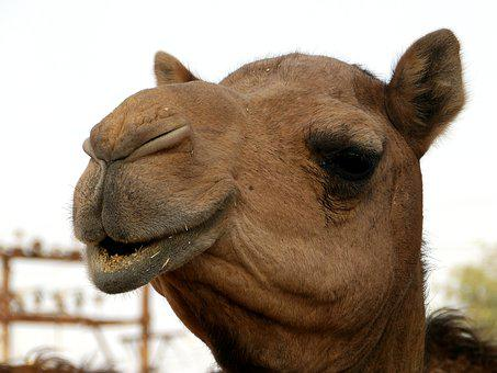 Camel, Head, Eyes, Animal, Desert Ship, Animal Head