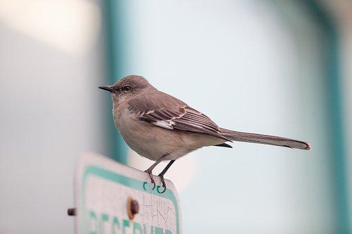 Bird, Mocking Bird, Outside, Wild, Animal, Wildlife