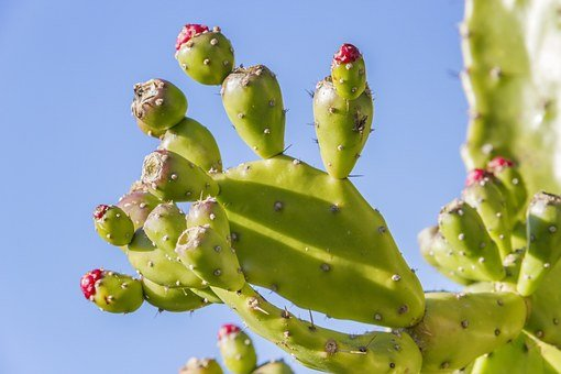 Prickly Pear, Opuntia, Fruit, Cactus, Prickly, Plant