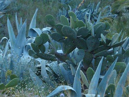 Cactus, Agave, Scrub, Wilderness, Prickly, Ear Cactus