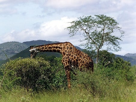 Wild Animal, Mammal, Giraffe, Reticulated Giraffe