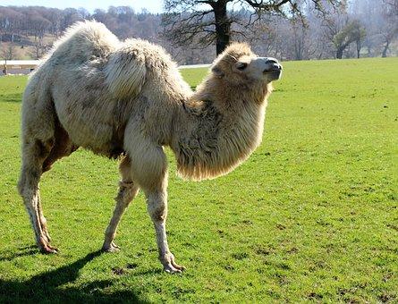 Camel, Safari, Desert, Horse, Ride, Tourism, Hump