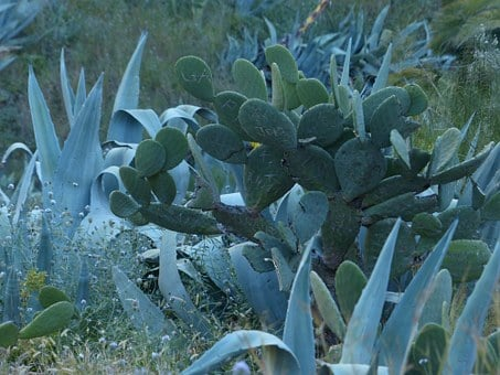 Cactus, Agave, Scrub, Wilderness, Prickly, Ear Cactus