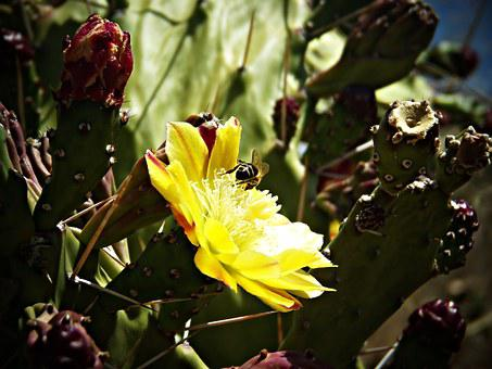Fig Tree, Fig, Prickly Pear Cactus, Sweet, Shrub, Bee