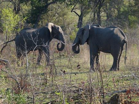 South Africa, Elephant, Pachyderm, Proboscis, Big Five