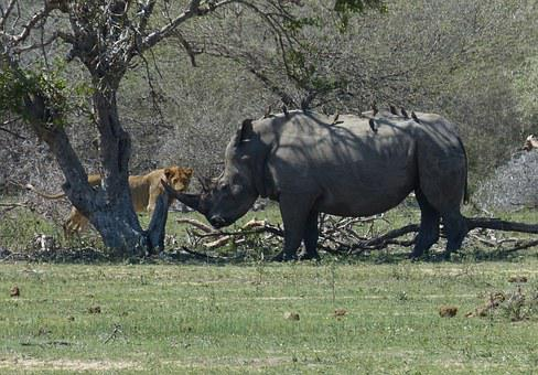 South Africa, Rhino, White Rhino, Lion, Predator