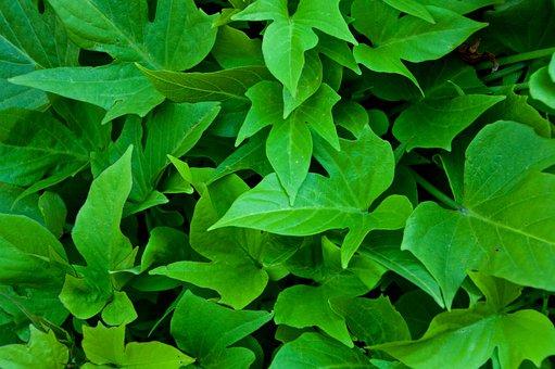 Leaves, Green, Ivy, Leaf, Green Leaf, Plant, Textures