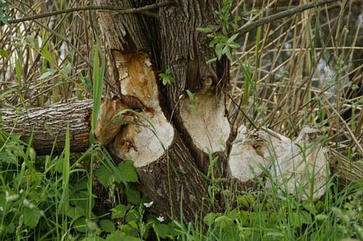 Beaver, Tree Trunks, Feeding, Damage, Beaver Damage
