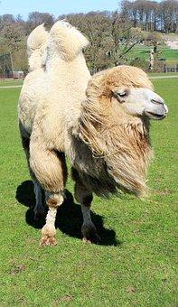 Camel, Hump, Safari, Water, Wildlife, Mammal, Animal