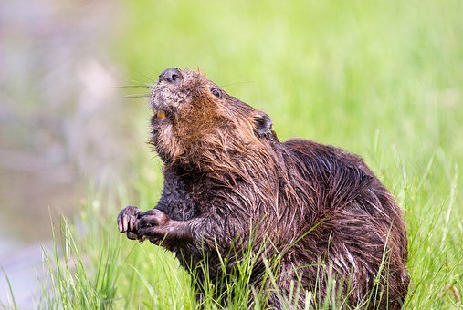 Beaver, Pond, Wildlife, Aquatic, Cute, Nature, Water