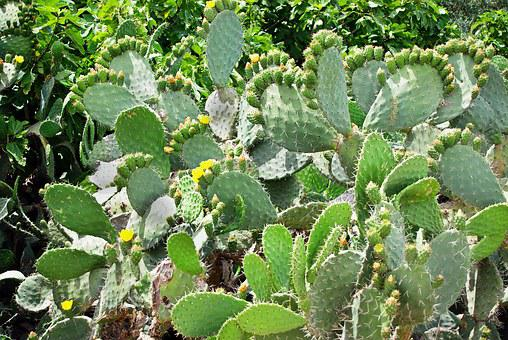 Cactus, Opuntia, Snowshoes, Yellow Flowers, Quills