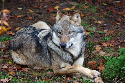 Wolf, Animal, Predator, Zoo, Wildlife Park, Wild Animal