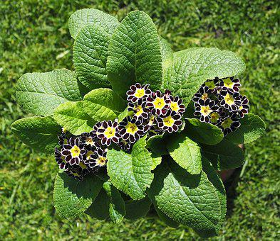 Primula, Auricula, Flower, Garden, Yellow, Purple