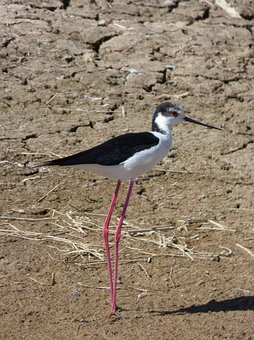 Himantopus Himantopus, Black-winged Stilt Common
