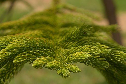 Araucaria Columnarispine, Branches