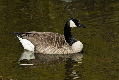 Goose, Canada Goose, Bird, Nature, Water Bird