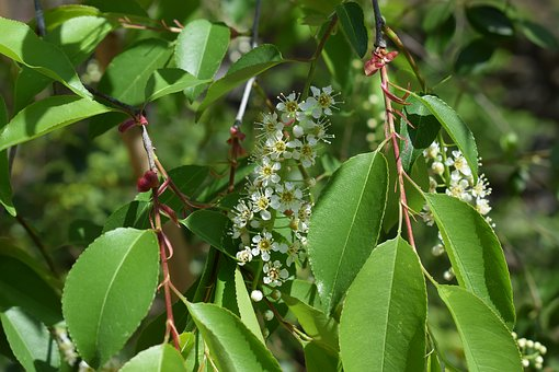 Chokecherry Blossoms And Leaves, Chokecherry, Tree