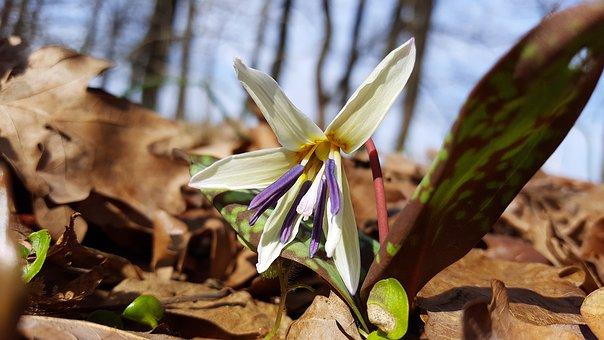 Erythronium Dens Canis, Dog's Tooth Violet