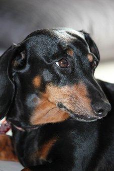 Dachshund, Dog, Black, Fire, Small Dog, Domestic Animal