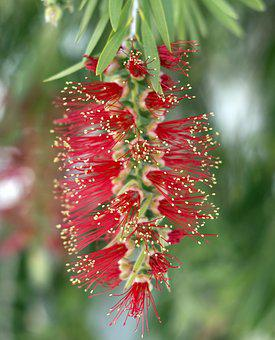 Bottlebrush, Callistemon, Flower, Red, Plant, Nature