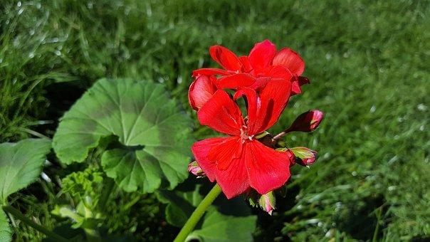 Red Geranium, Geranium Flower, Geranium, Pelargonium