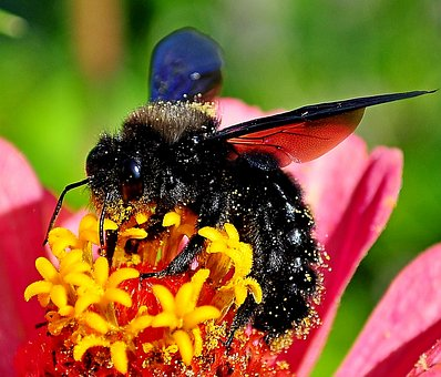 Insects On The Flower, Drvodělka Purple, Bumble-bee