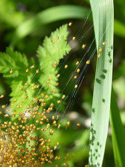 Nest Of Spiders, Spiders, Young, Web, Bugs, Leaf