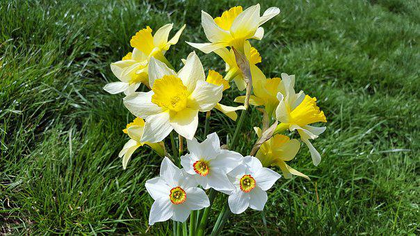 Narcissus, Daffodil, Narcissus Bouquet