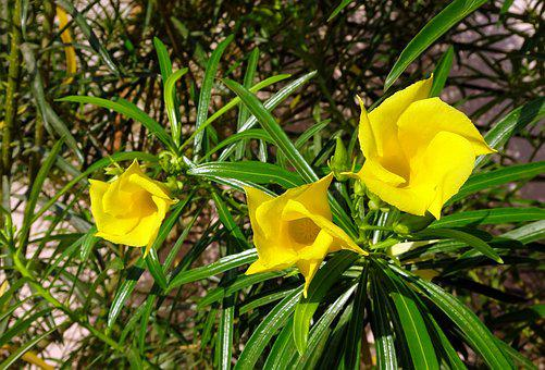 Flower, Oleander, Yellow, Nature, Blossom, Garden