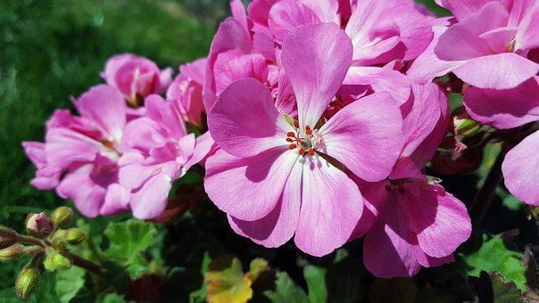 Pink Geranium, Geranium Flower, Geranium, Pelargonium