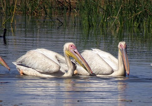 Bird, Pelican, Water, Wildlife, Biodiversity, Fauna
