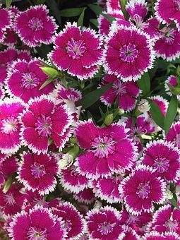 Flowers, Dianthus, Garden, Pink, Bloom, Summer, Plant