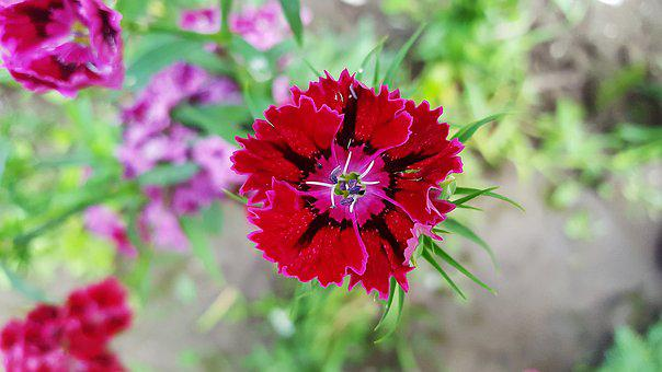 Sweet William, Dianthus, Carnation, Red Dianthus