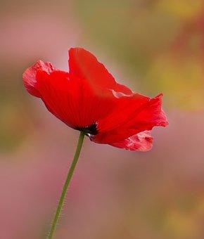 Poppy, Red, Red Poppy, Flower, Blossom, Bloom