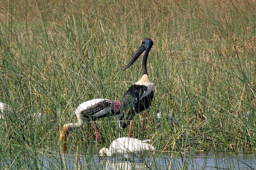 Bird, Stork, Black-necked Stork