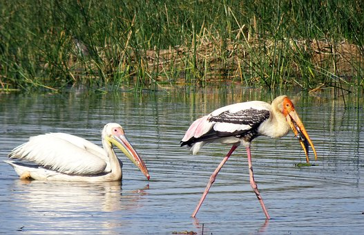Bird, Pelican, Painted Stork, Water, Wildlife