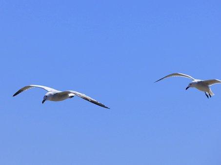 Seagulls, Audouin's Gull, Gavina Corsa, Couple, Flight