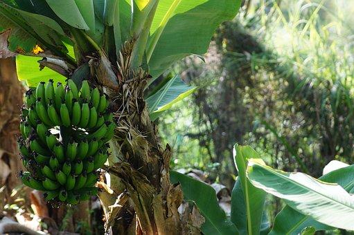 Banana, Plantain, Tree Platano, Mata De Platano