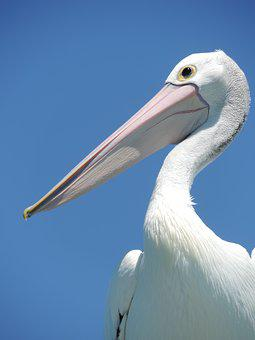 Pelican, Bird, Beak, Large-beak, Large-bird