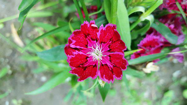 Red Dianthus, Dianthus, Sweet William, Carnation