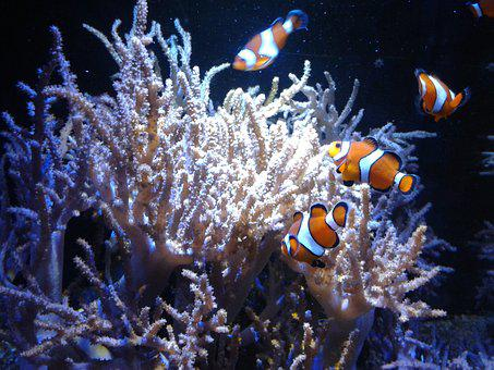 Clown Fish, Amphiprioninae, Fish, Coral