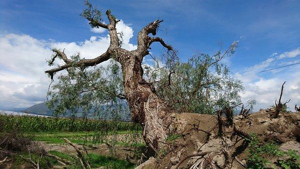 Tree, Ambato, Ecudador, Fallen