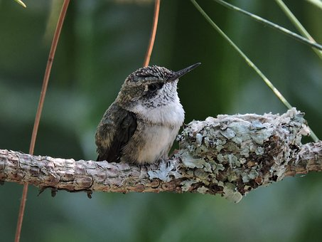 Hummingbird, Bird, Baby, Nest, Fledgling, Nature