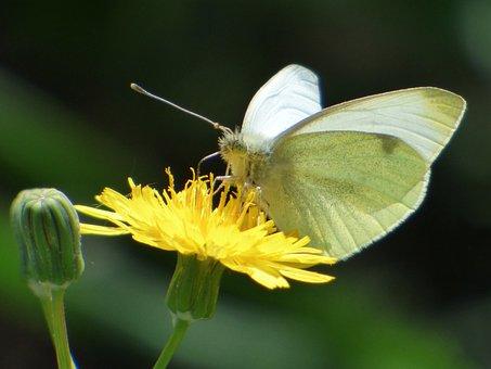 Butterfly, White Butterfly, Libar, Flower Dandelion