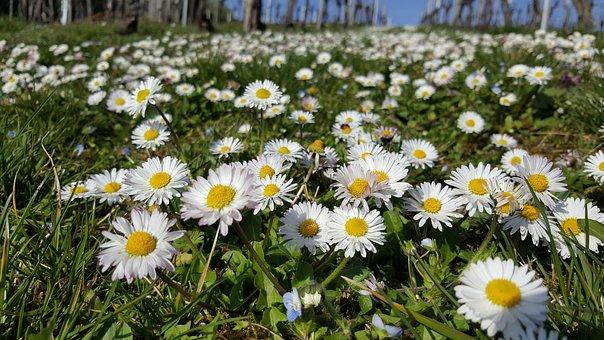 Daisy, Meadow, Close, Spring, Flowers, Flower Meadow