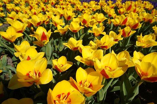 Holland, Netherlands, Flower, Garden, Keukenhof, Tulip