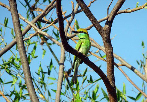Bird, Green Bee-eater, Merops Orientalis